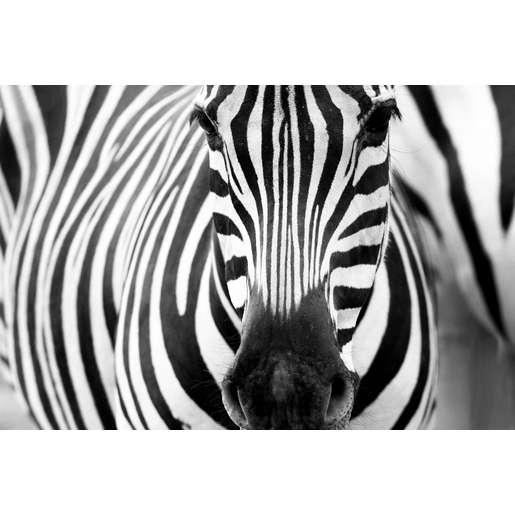 Tableau zebre noir et blanc 3 10000184770 0