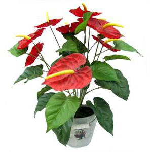 Composition de 9 anthurium en pot- Plastique - H 50 cm - Rose Beige